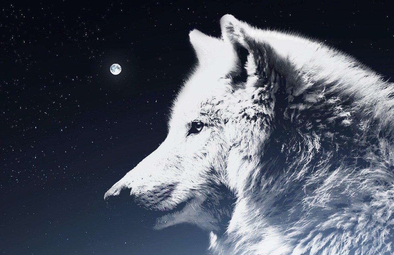 wolf-2559391_1280